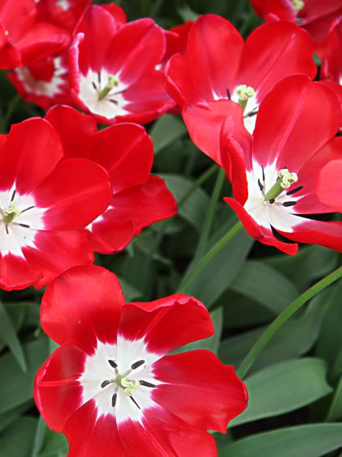 Tulips in Keukenhof, Holland