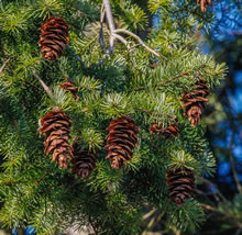 Photo of Douglas Fir branch