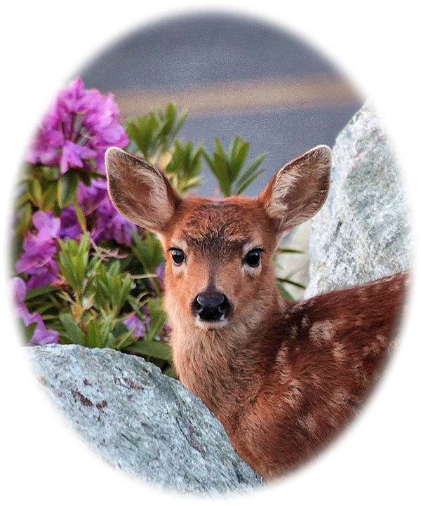 Fawn on Olympic Peninsula