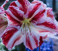Tulip at Keukenhof Garden in Holland